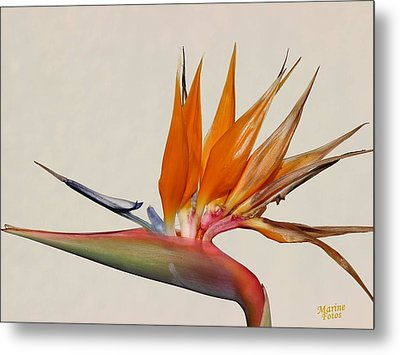 Bird Of Paradise With White Background Metal Print