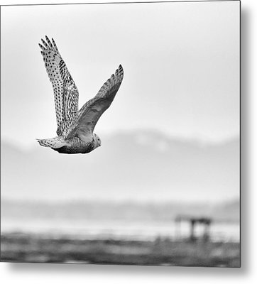 Birds Of Bc - No.16 - Snowy Owl - Bubo Scandiacus Metal Print by Paul W Sharpe Aka Wizard of Wonders