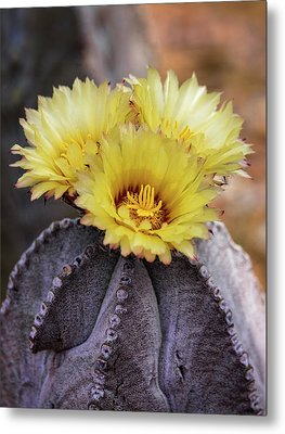 Metal Print featuring the photograph Bishop's Cap Cactus  by Saija Lehtonen