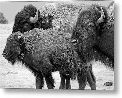 Bison - Way Out West Metal Print