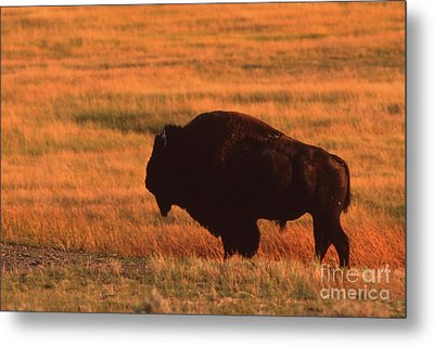Metal Print featuring the photograph Bison At Sunset by Edward R Wisell