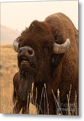 Bison Bellowing At The Sky Metal Print by Max Allen