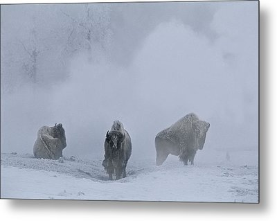 Bison Bison Bison Stand During Winter Metal Print by Bobby Model