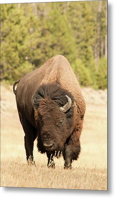 Bison Metal Print by Corinna Stoeffl, Stoeffl Photography