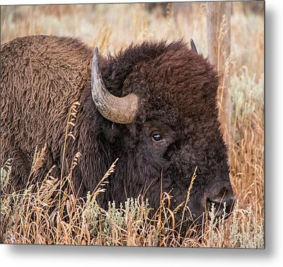Metal Print featuring the photograph Bison In The Grass by Mary Hone