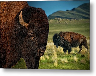 Bison On The Plain Metal Print by Paul W Sharpe Aka Wizard of Wonders