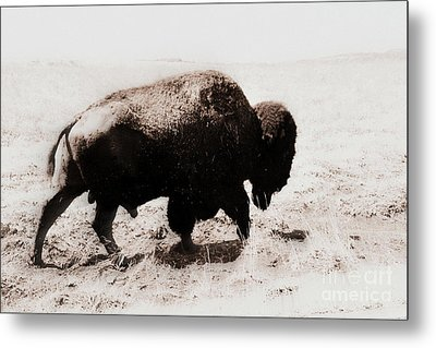 Bison On The Trail Metal Print by Mickey Harkins