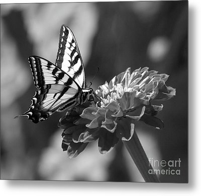 Black And White Butterfly On Zinnia Metal Print by Jim And Emily Bush