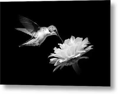 Metal Print featuring the photograph Black And White Hummingbird And Flower by Christina Rollo
