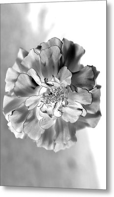 Black And White Marigold Metal Print by Christine Ricker Brandt