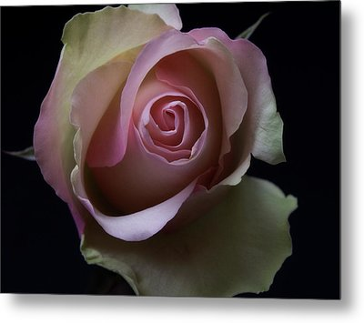 Black And White Pink Flowers Roses Macro Photography Art Work Metal Print