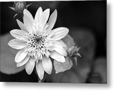 Metal Print featuring the photograph Black And White Sunrise Coreopsis by Christina Rollo