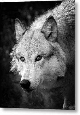 Black And White Wolf Metal Print by Steve McKinzie