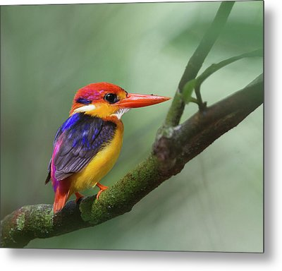 Black-backed Kingfisher Metal Print by Copyright by David Yeo