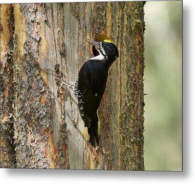 Black-backed Woodpecker Metal Print by Doug Herr