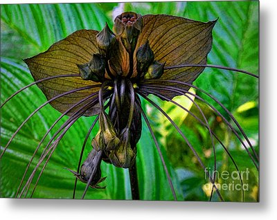 Black Bat Orchid Metal Print by Sue Melvin
