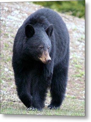 Black Bear At Banff National Park Metal Print