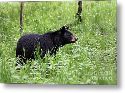 Black Bear In The Woods Metal Print by Andrea Silies