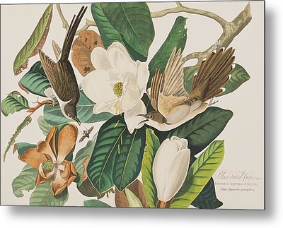 Black Billed Cuckoo Metal Print by John James Audubon
