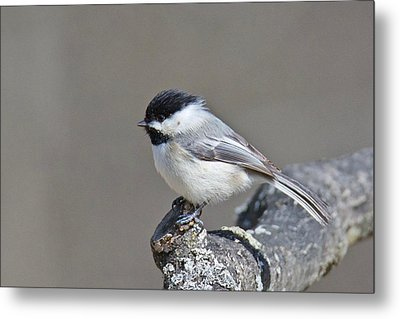 Metal Print featuring the photograph Black Capped Chickadee 1128 by Michael Peychich