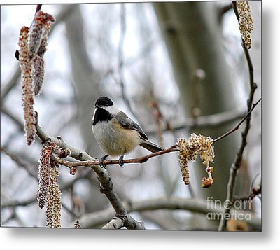 Metal Print featuring the photograph Black-capped Chickadee 20120321_39a by Tina Hopkins