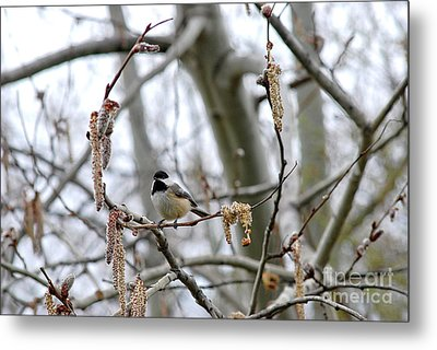 Metal Print featuring the photograph Black-capped Chickadee 20120321_39b by Tina Hopkins
