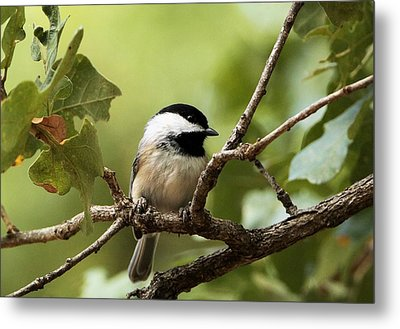 Black Capped Chickadee On Branch Metal Print