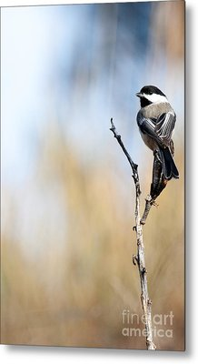 Black-capped Chickadee Metal Print by Shevin Childers