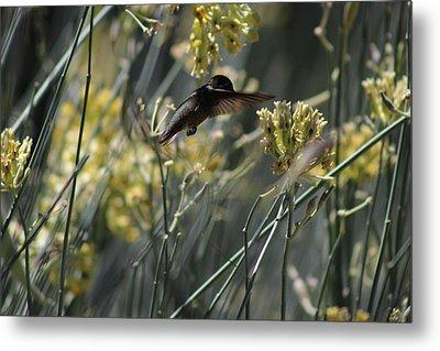 Black Chinned Hummingbird In Garden Metal Print by Colleen Cornelius