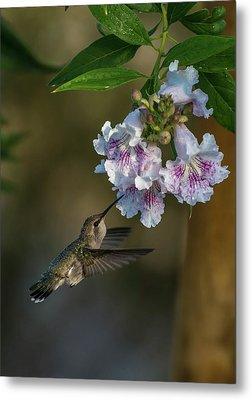 Black-chinned Hummingbird Metal Print by Martina Thompson