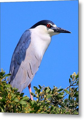 Black Crowned Night Heron Atop Tree Metal Print by Wingsdomain Art and Photography