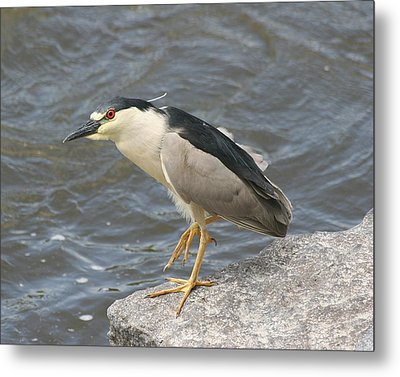Metal Print featuring the photograph Black-crowned Night Heron by Doris Potter