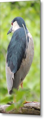 Black Crowned Night Heron Metal Print