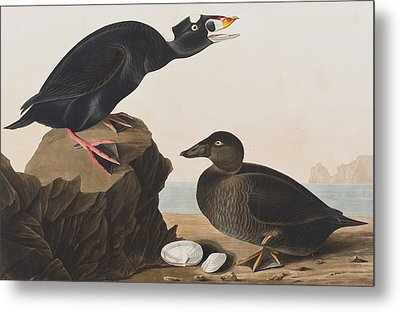 Black Duck Or Surf Duck Metal Print by John James Audubon