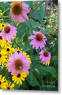 Black Eye Susans And Echinacea Metal Print by Eric  Schiabor