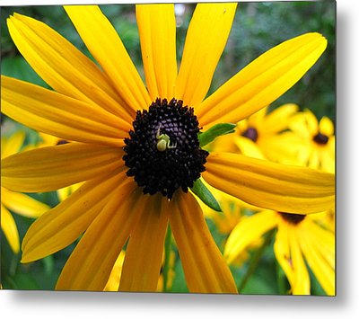 Metal Print featuring the photograph Black-eyed Susan And A Traveler by Lori Miller