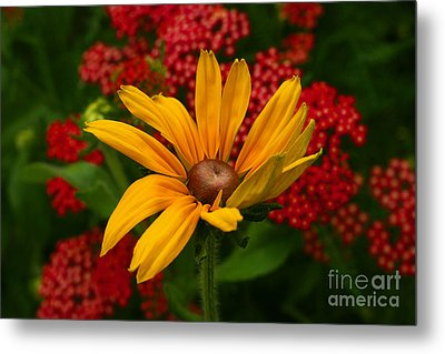 Black-eyed Susan And Yarrow Metal Print by Steve Augustin