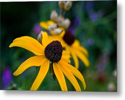 Metal Print featuring the photograph Black Eyed Susan Daisy by Gary Smith