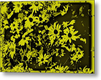 Black Eyed Susan's Metal Print by Bill Cannon