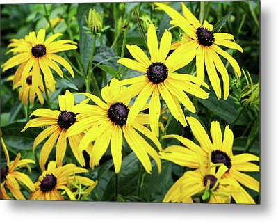 Black Eyed Susans- Fine Art Photograph By Linda Woods Metal Print by Linda Woods