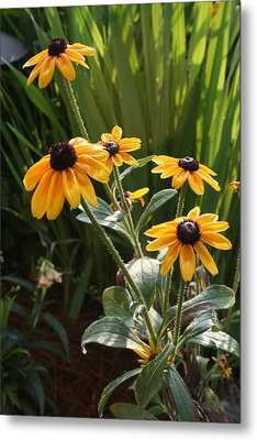 Black-eyed Susans Metal Print by Greg Joens