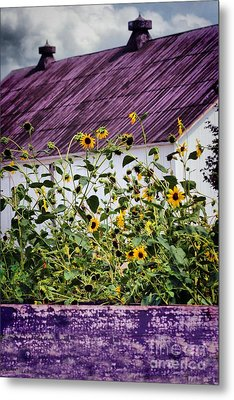 Black Eyed Susans Metal Print by Polly Peacock