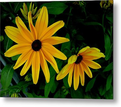 Black-eyed Susans Metal Print by Robert Knight