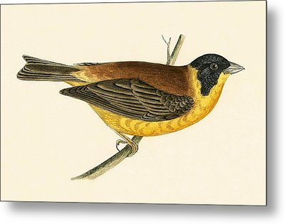 Black Headed Bunting Metal Print by English School