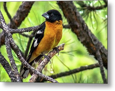 Black-headed Grosbeak Metal Print