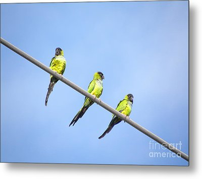 Metal Print featuring the photograph Black Hooded Parakeet Trio by Terri Mills