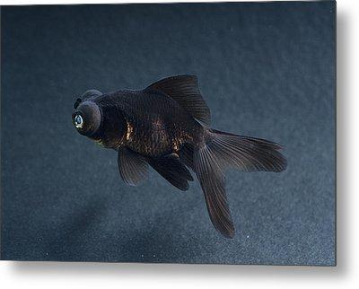 Black Moor Ornamental Fish Metal Print by David Aubrey
