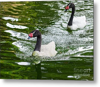 Black Neck Swan Swim Metal Print by Jamie Pham