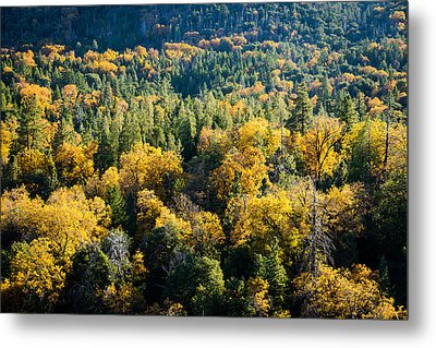 Black Oaks Turning Metal Print by Alexander Kunz