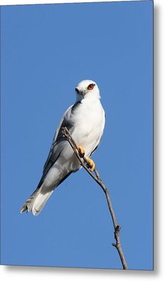 Black-shouldered Kite  Metal Print